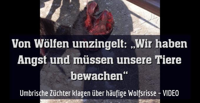 Umbrische Züchter klagen über häufige Wolfsrisse – VIDEO