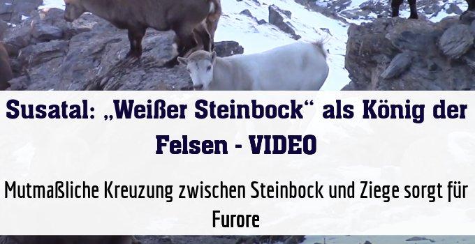 Mutmaßliche Kreuzung zwischen Steinbock und Ziege sorgt für Furore