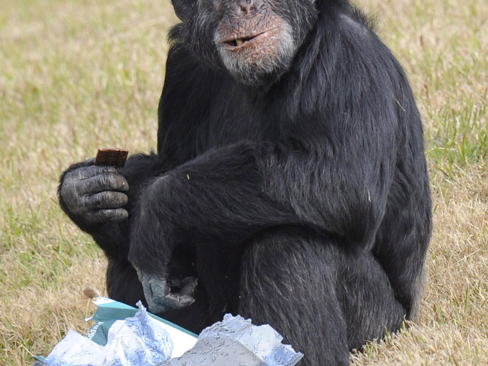 affe schimpanse