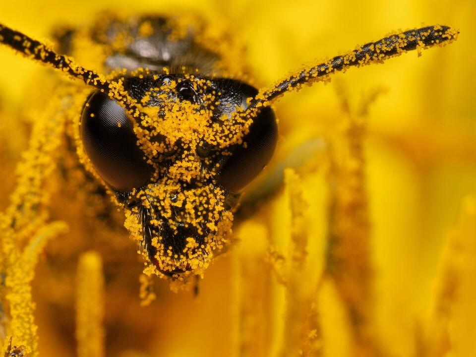 pollen biene honig imker