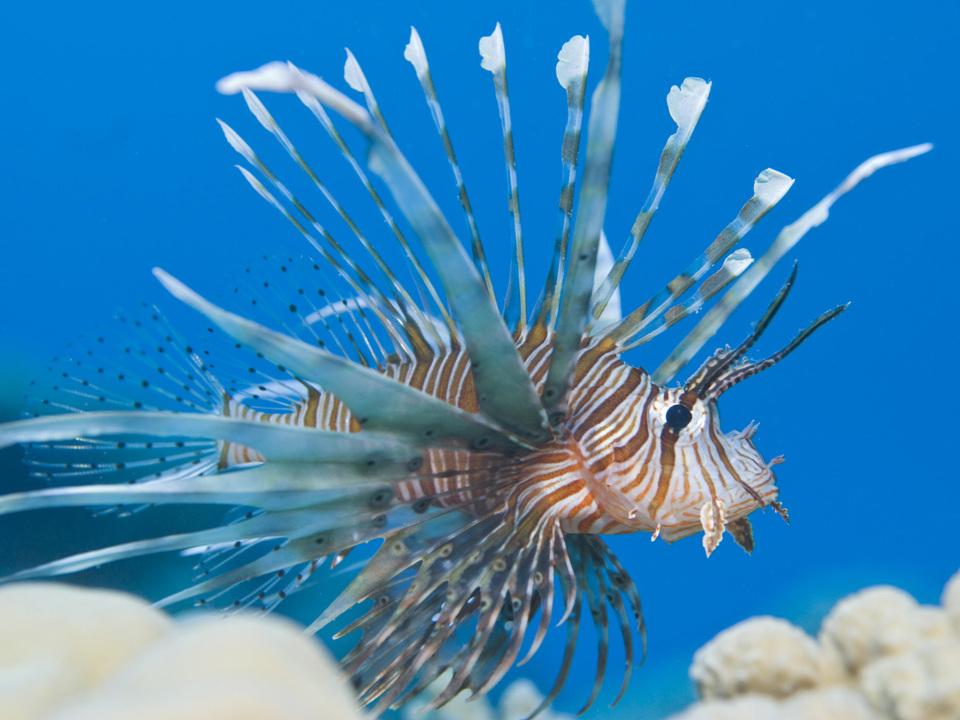 rotfeuerfisch-fisch-apa