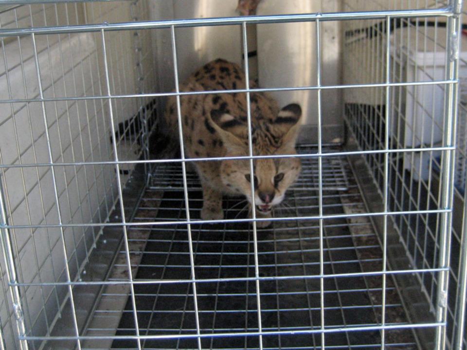 serval2_wildkatze-lpa_16