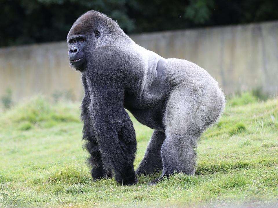 silberrücken-gorilla-affe-apa