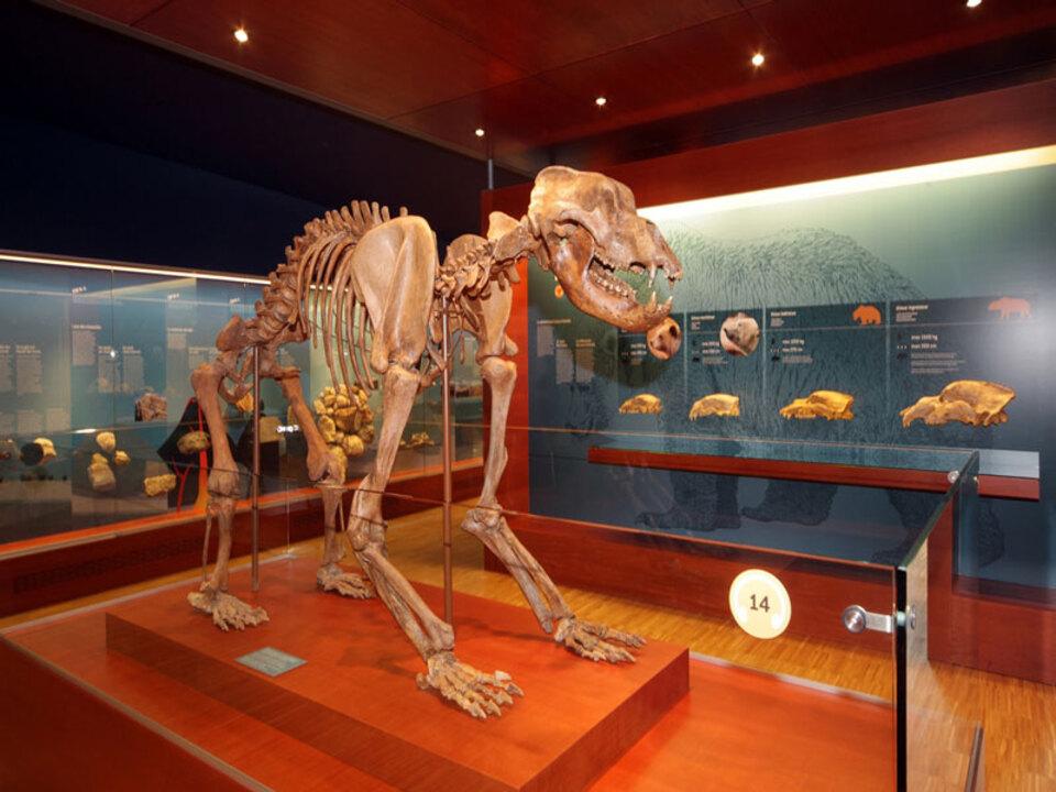 Lpa-skelett_des_ursus_ladinicus_im_museum_ladin_ursus_ladinicus_03