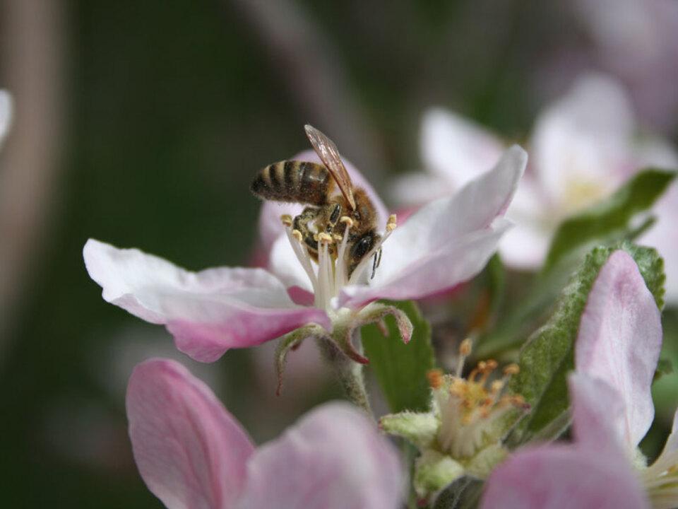 Suedtiroler_Beratungsring_fuer_Obst-_und_Weinbau-Biene-Bluete_01