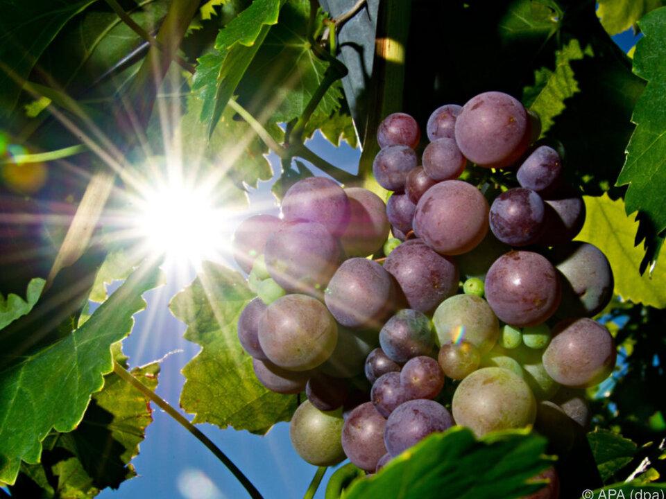 trauben wein reben Altweibersommer könnte die Weinqualität veredeln