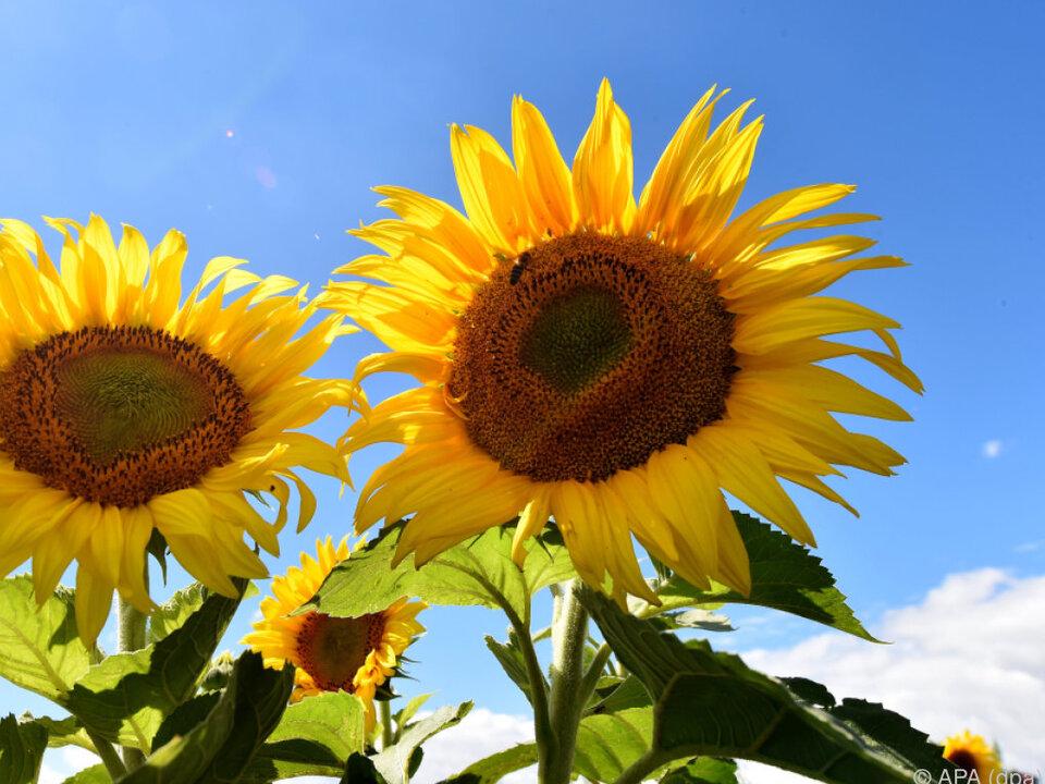 Am Montag in die Sonne gehn, am Dienstag wird es nicht mehr schön! sonnenblume sommer frühling