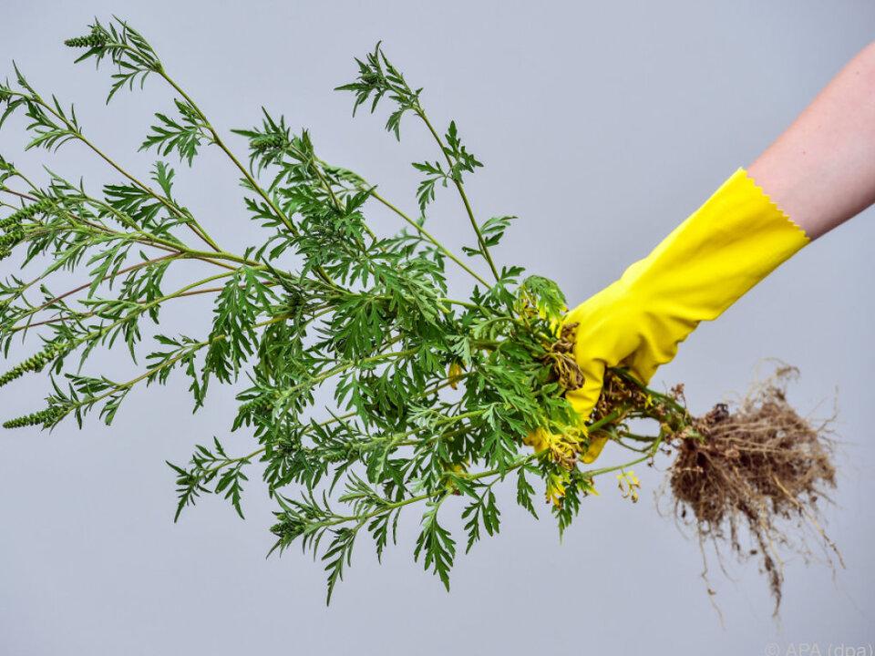 Ambrosiapflanze: Klimawandel dürfte Ragweed-Pollen-Saison verlängern