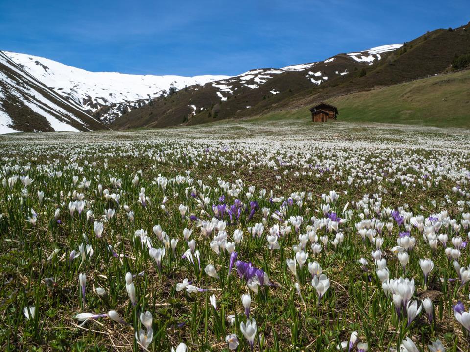 wiese alm bergwiese Crocus albiflorus - Alpen-Krokus - Iridaceae