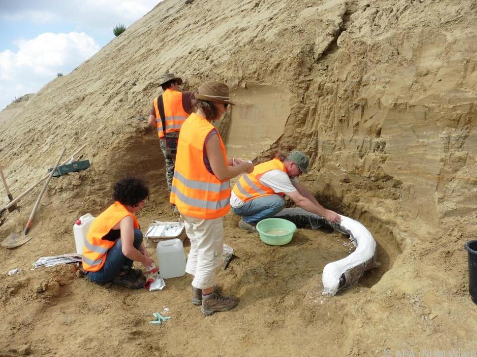 Das Paläontologen-Team des Museums bei der Bergung eines der Stoßzähne