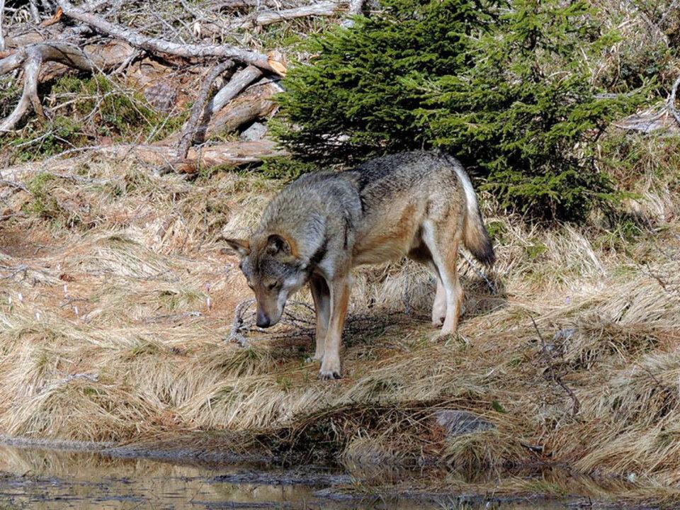 lpa-trient-wolf
