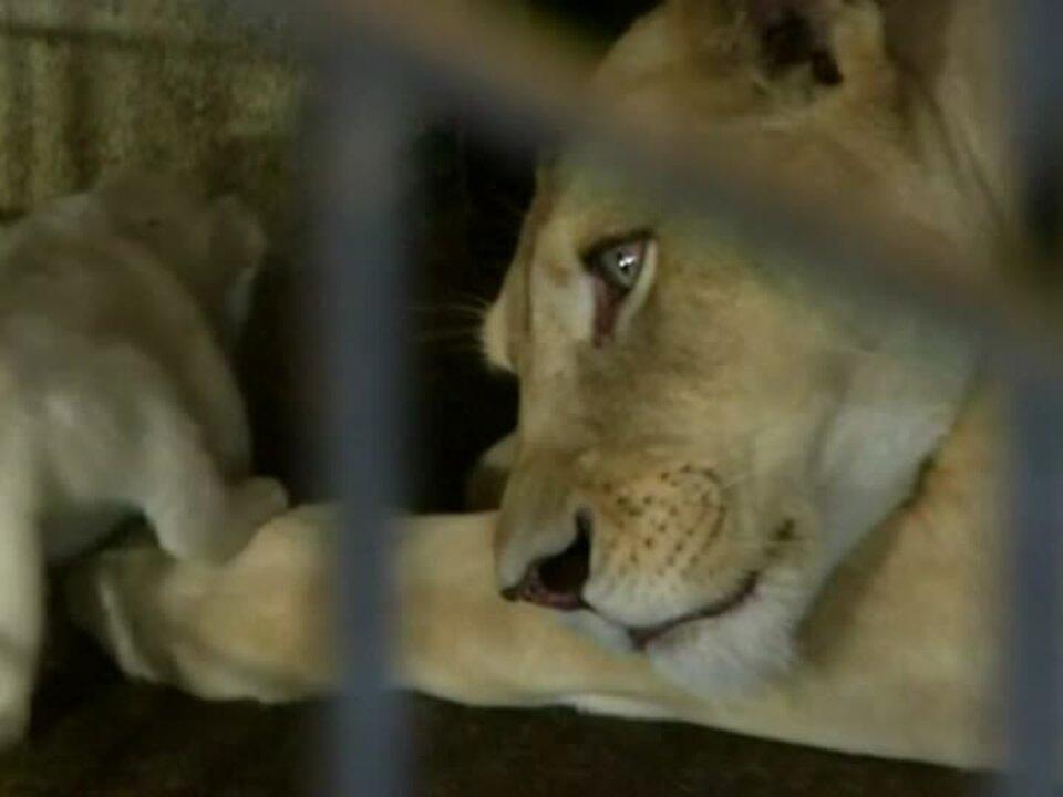 Weiße Löwenbabies geboren