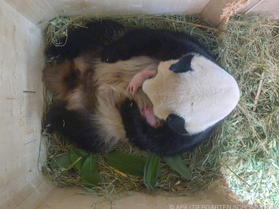 Zwei kleine Pandas tummeln sich auf der Mama