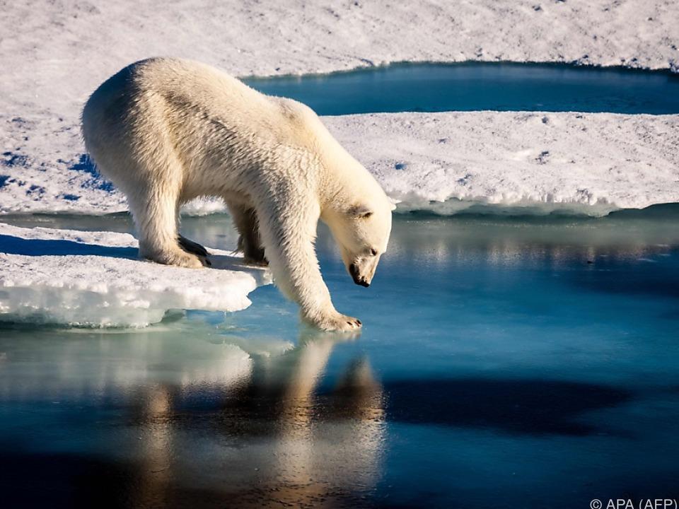 Eines von vielen Problemen: Lebensraum für Eisbären wird weniger