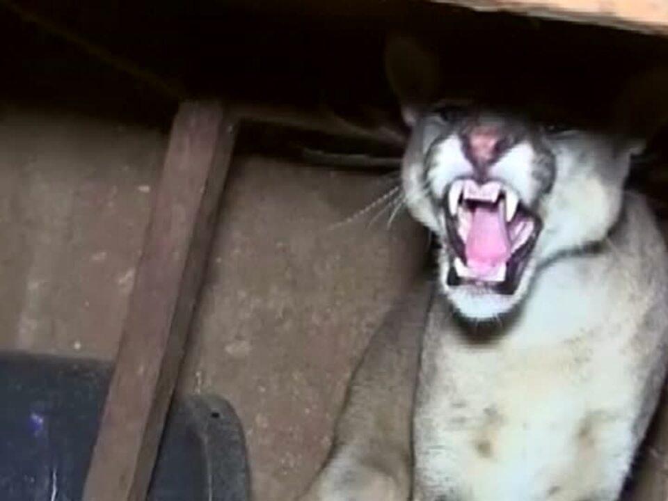 Puma überrascht Familie in Peru