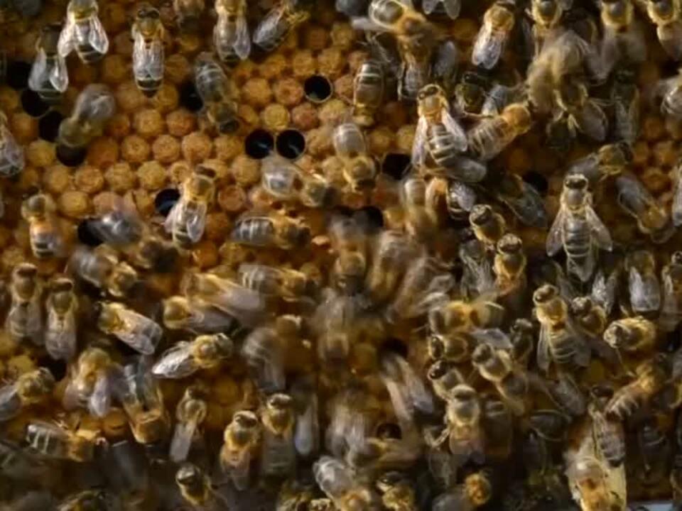 Schlaue Bienen honig