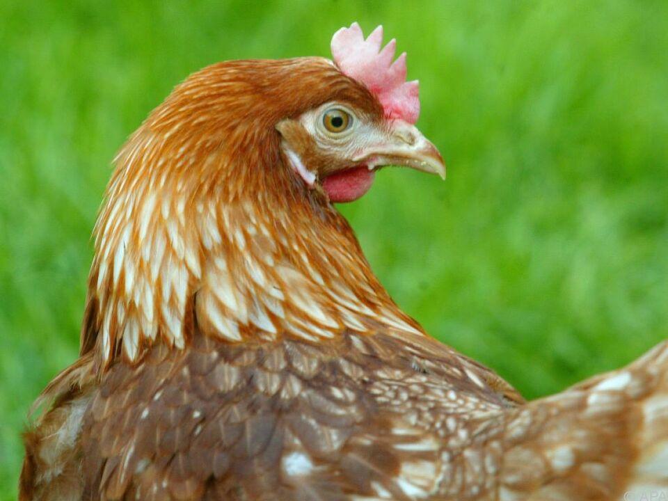 Ab Freitag gilt eine Stallpflicht für Hausgeflügel henne geflügel huhn