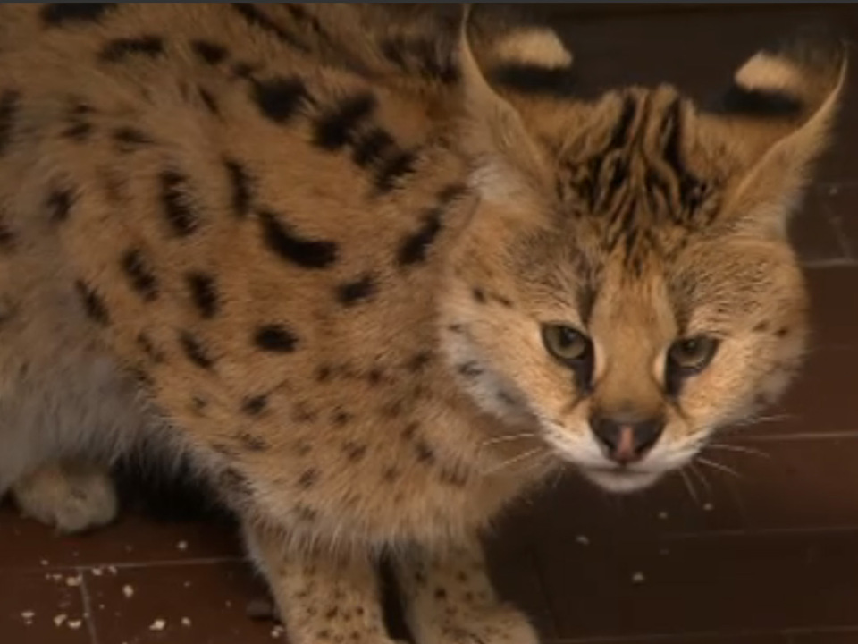 chiku-serval-stheute2
