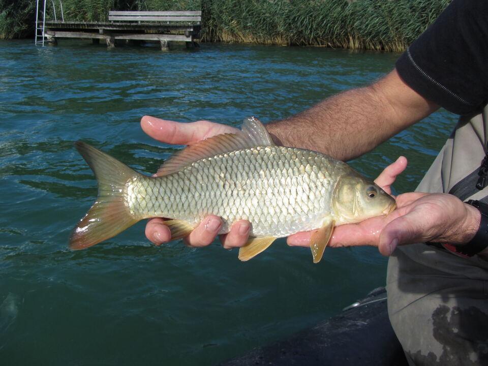 Karpfen fisch kalterer see