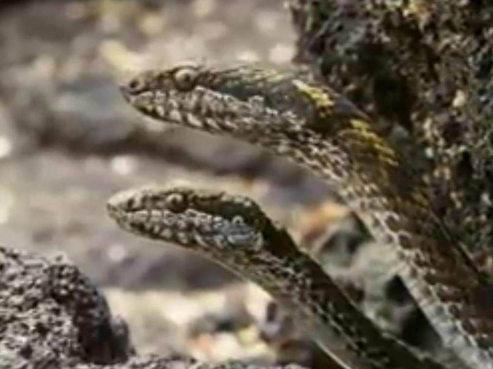 schlangen-bbc-fb-galapagos
