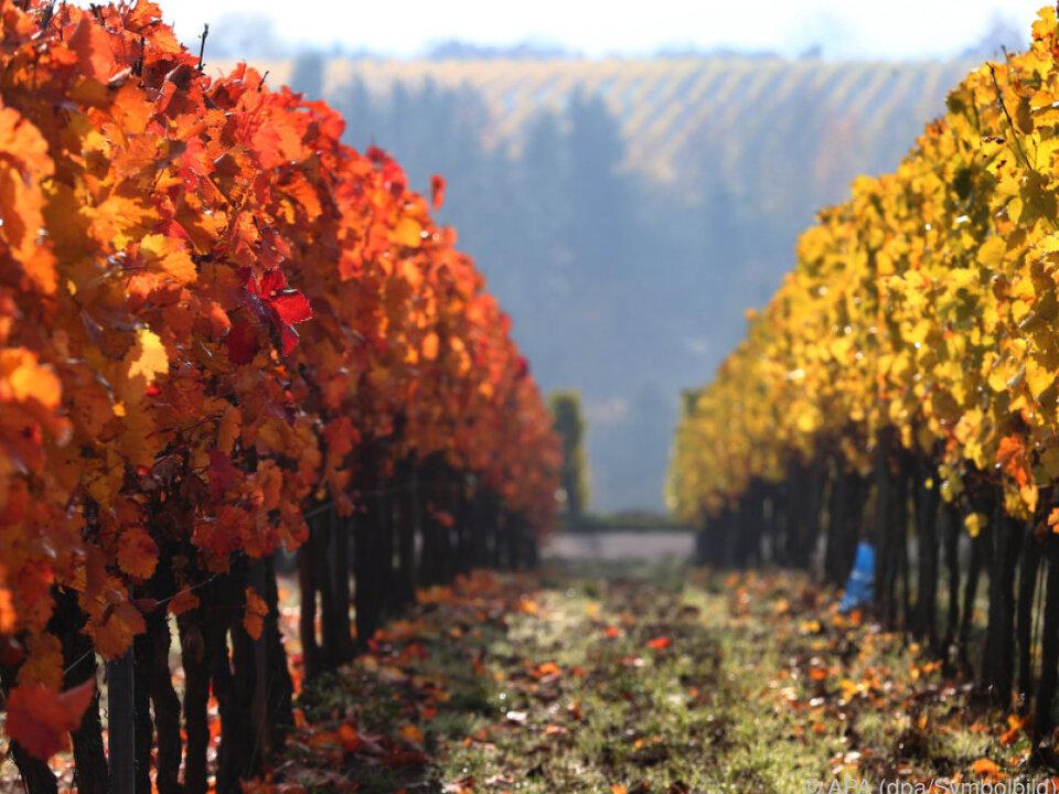 wein reben trauben herbst Steiermark mit herben Verlusten, NÖ profitierte