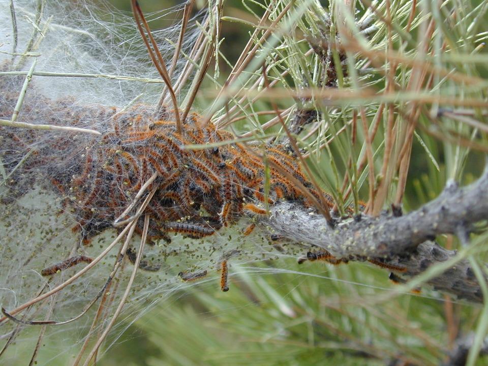 Prozessionsspinner Nest