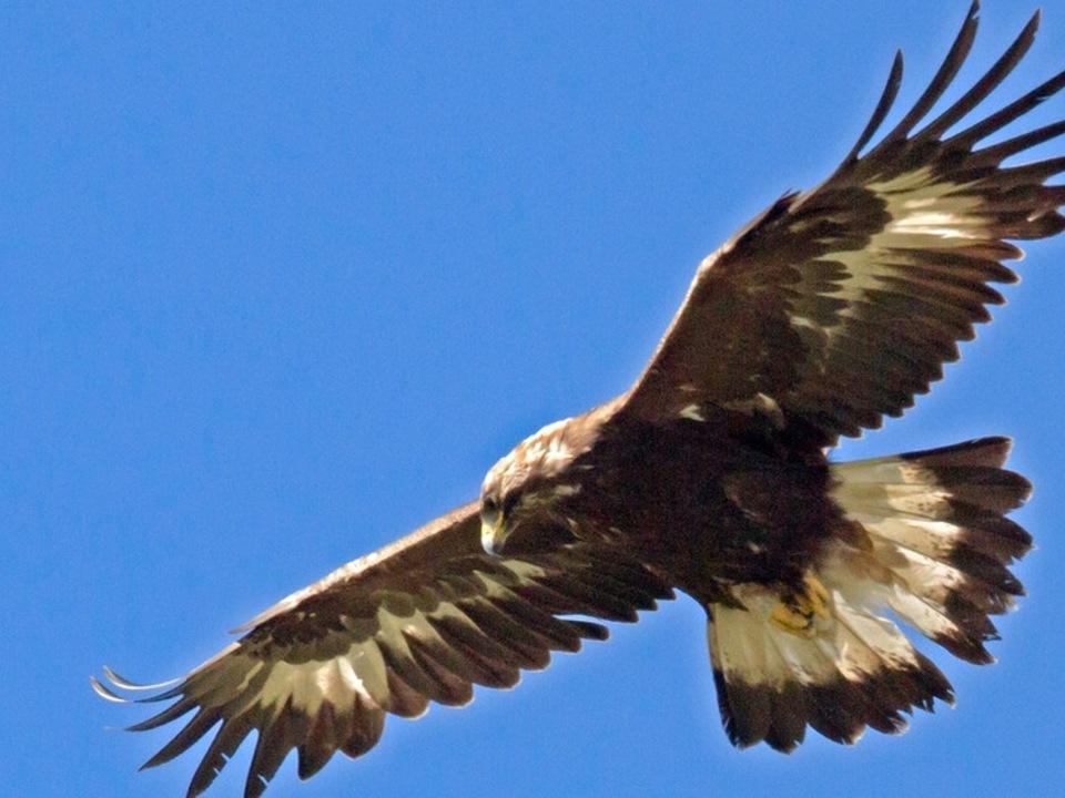 Steinadler Adler