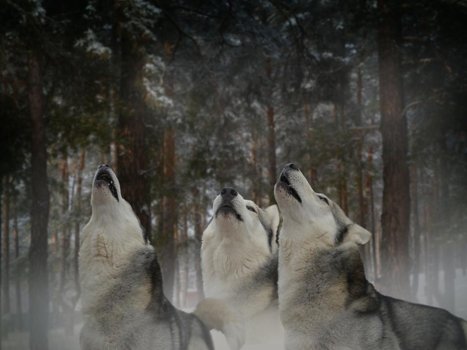 wolf raubtier wölfe heulen wald
