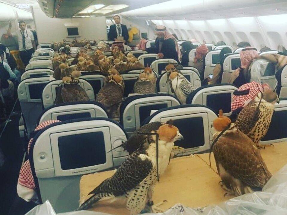 Saudischer Prinz bucht Tickets für 80 Falken