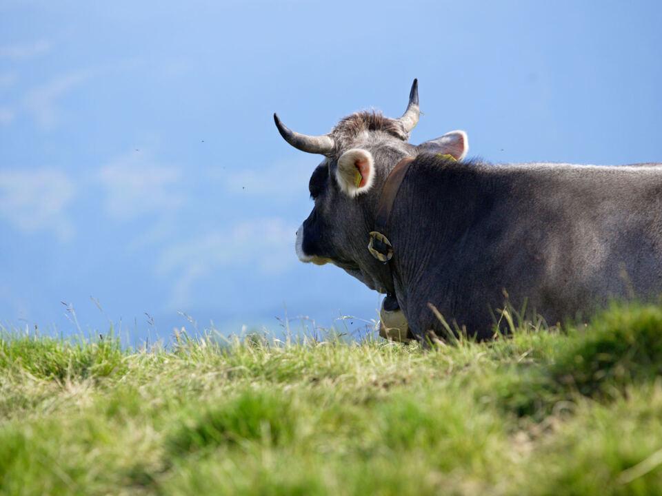 Südtirol kuh bauer