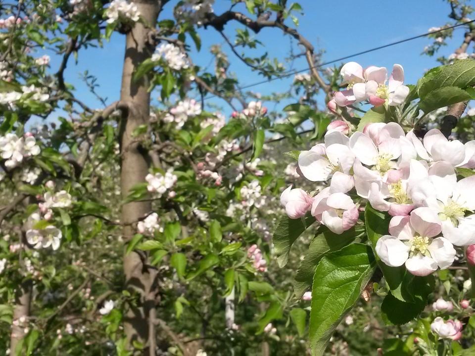 apfelblüte blüte frühling pollen