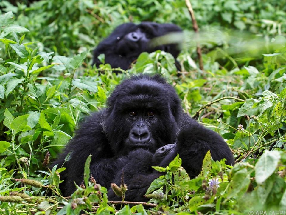 Gorillas und Co. vom Aussterben bedroht