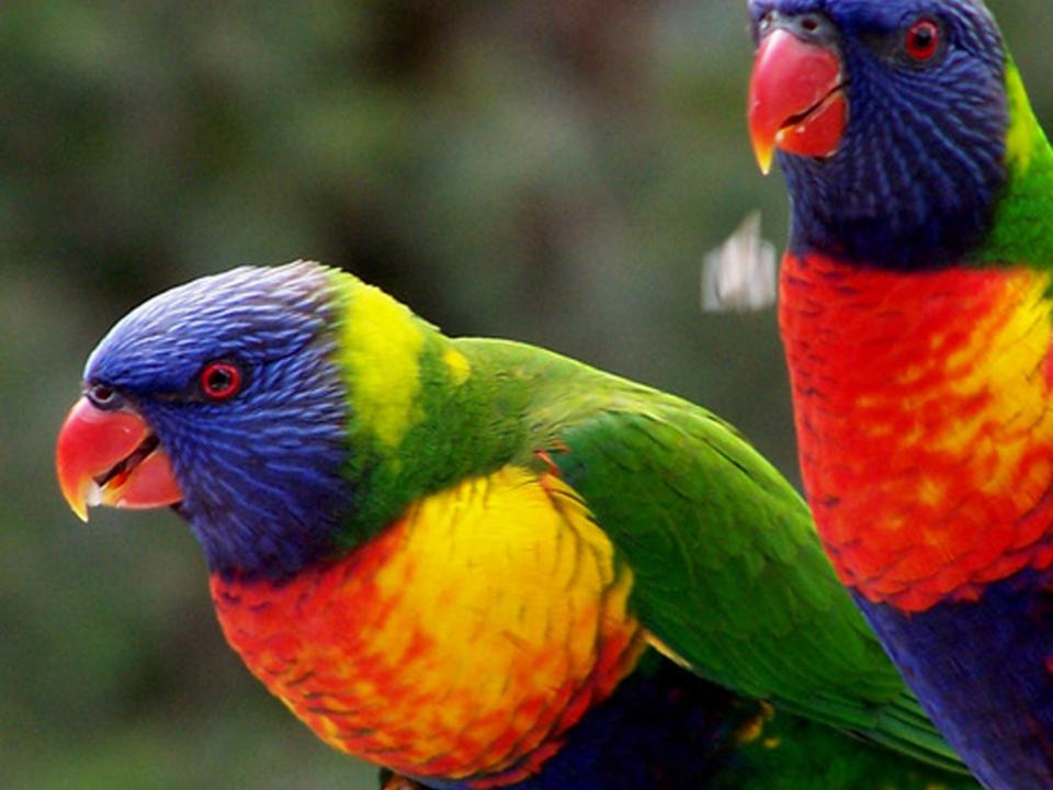 Allfarblori Papagei