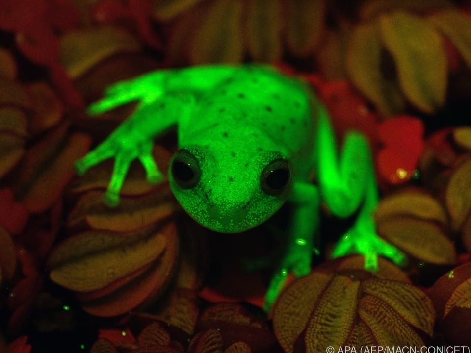 Unter UV-Licht leuchtet das Tier