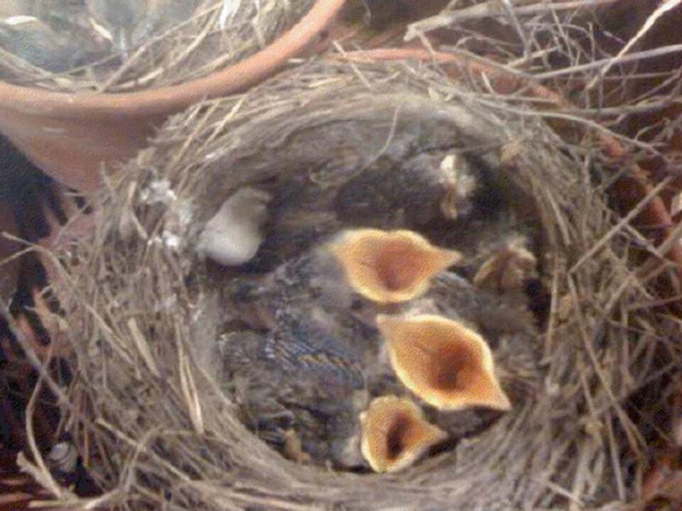 Jungvogel Vogel Nest Nestraub