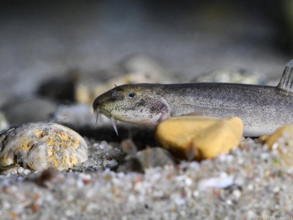 Die entdeckten Schmerlen sind die nördlichsten Höhlenfische der Welt