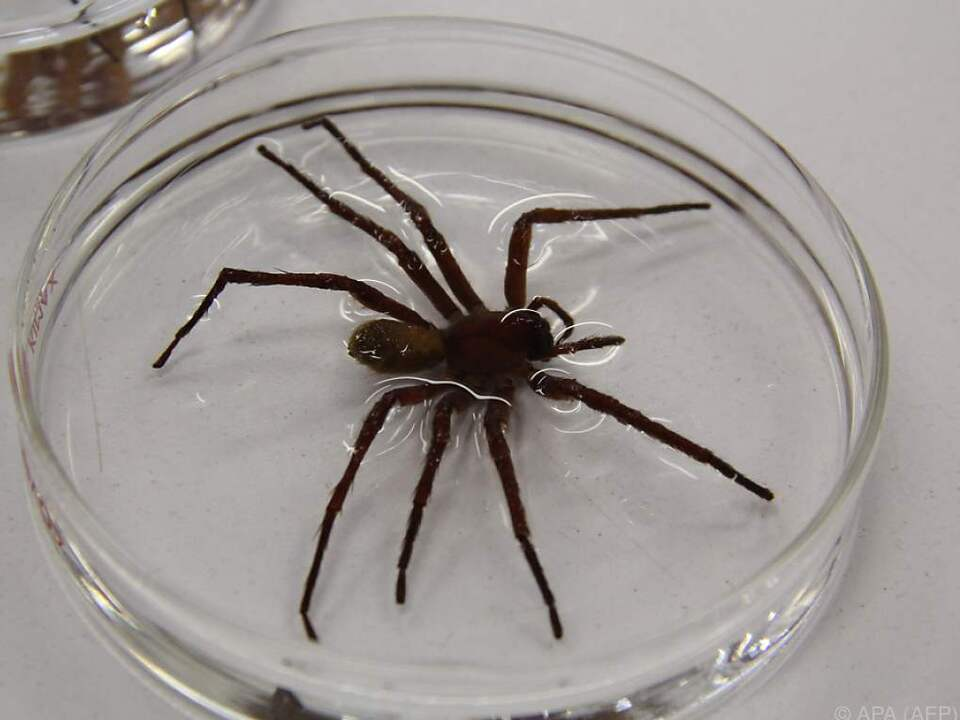 Die Spinne wurde Califorctenus Cacachilensis getauft