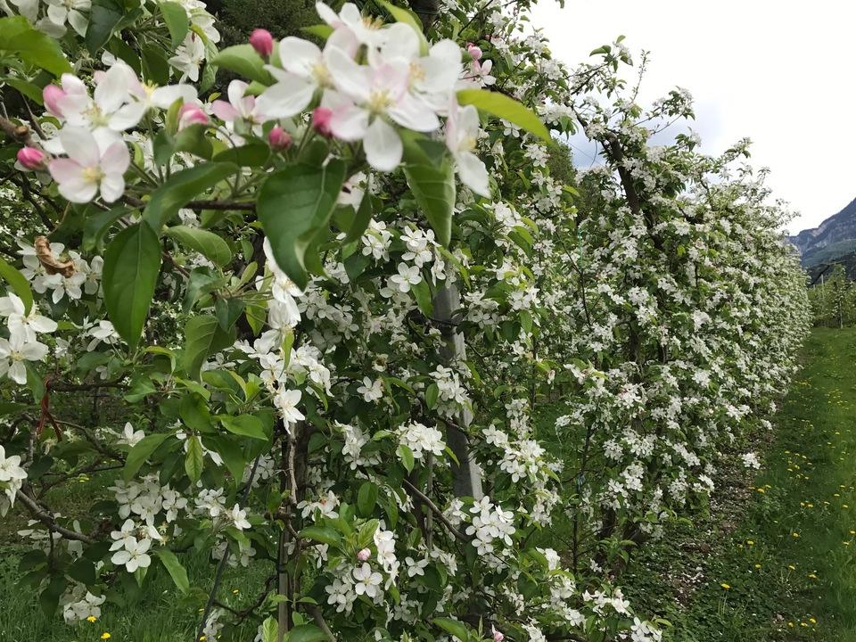 apfel apfelblüte landwirt blüte landwirtschaft obstbau