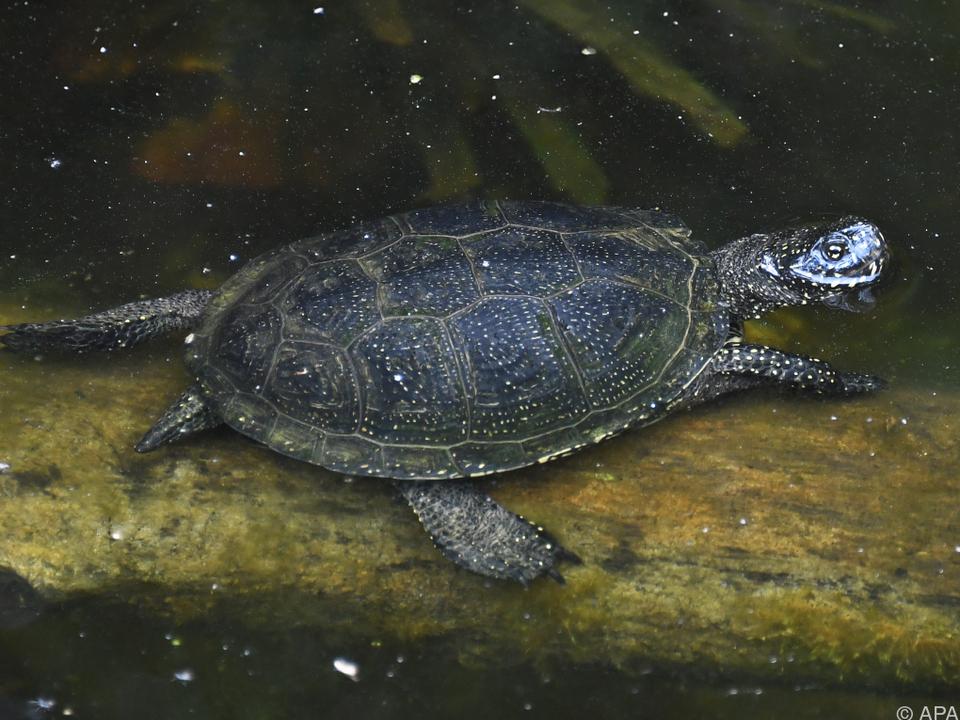 Europäische Sumpfschildkröte nach wie vor gefährdet