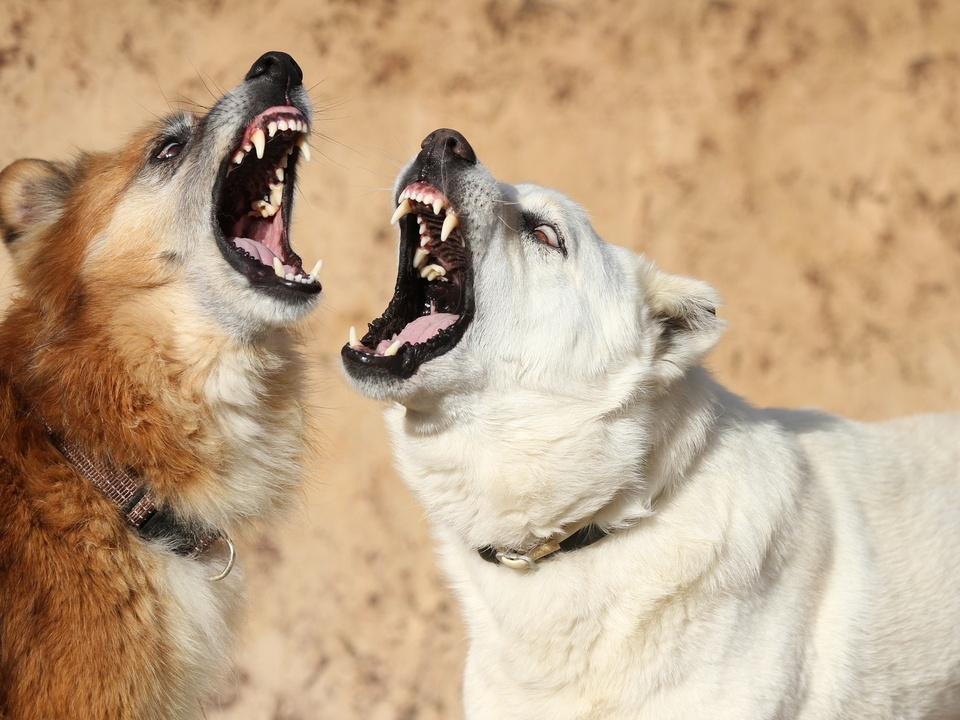 Zwei Hunde fletschen die Zhne