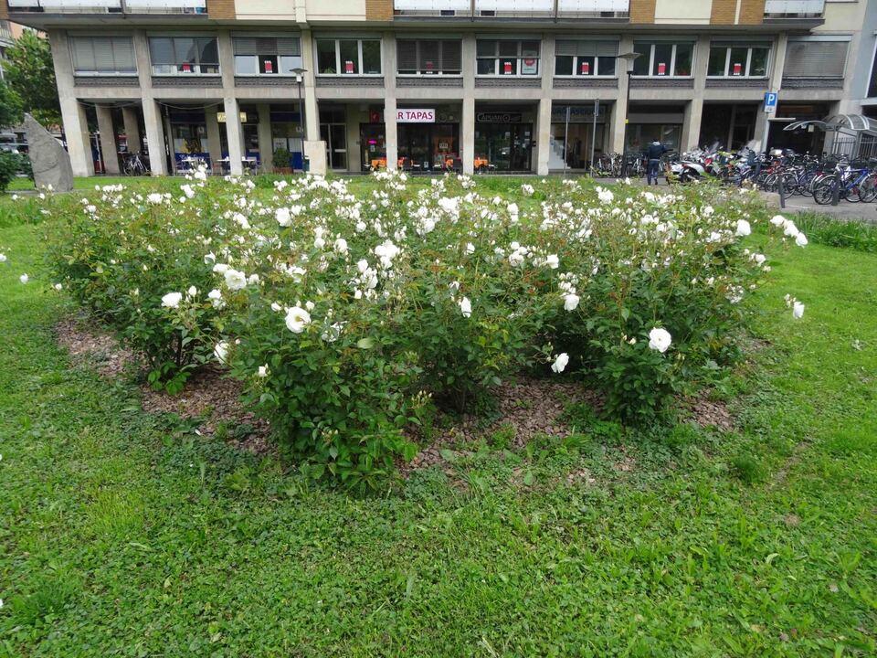 weisse-rosen-auf-dem-geschwister-scholl-platz