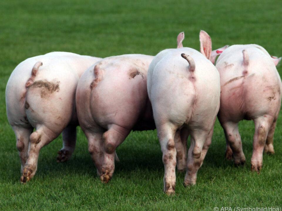 Die Freilandhaltung wurde eingeschränkt schwein sau speck arsch po ferkel
