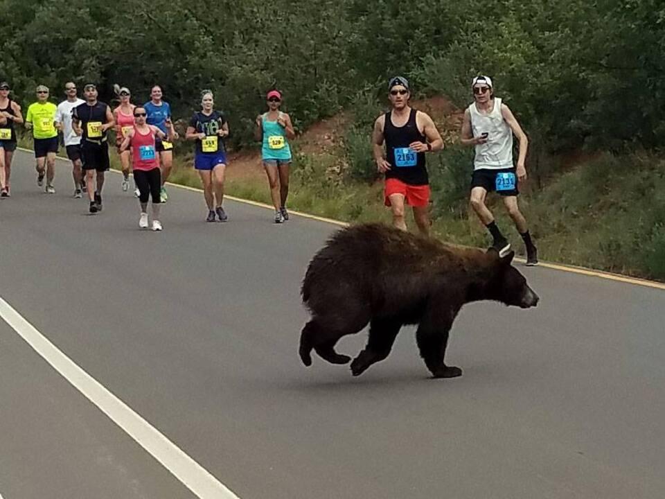 Bär überquert Straße während Wettlauf
