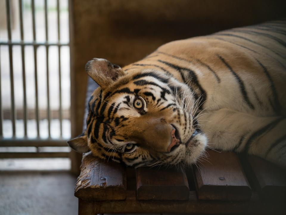 tiger zoo zirkus tierquälerei käfig