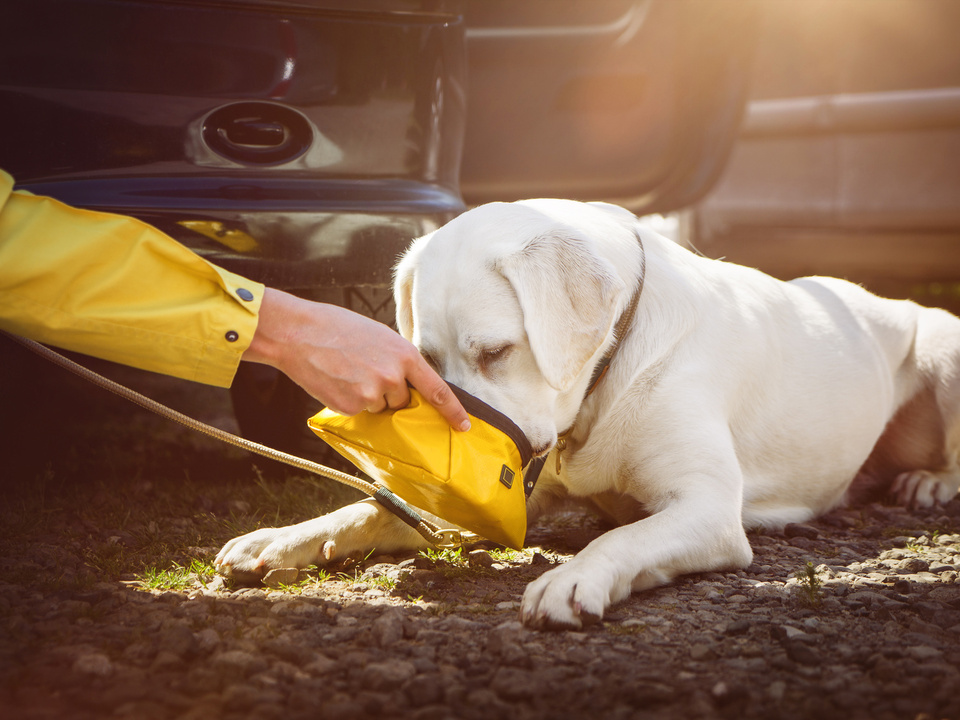 hund hitze auto Junger labrador retriever hund welpe trinkt etwas wasser aus einem napf auf einem parkplatz