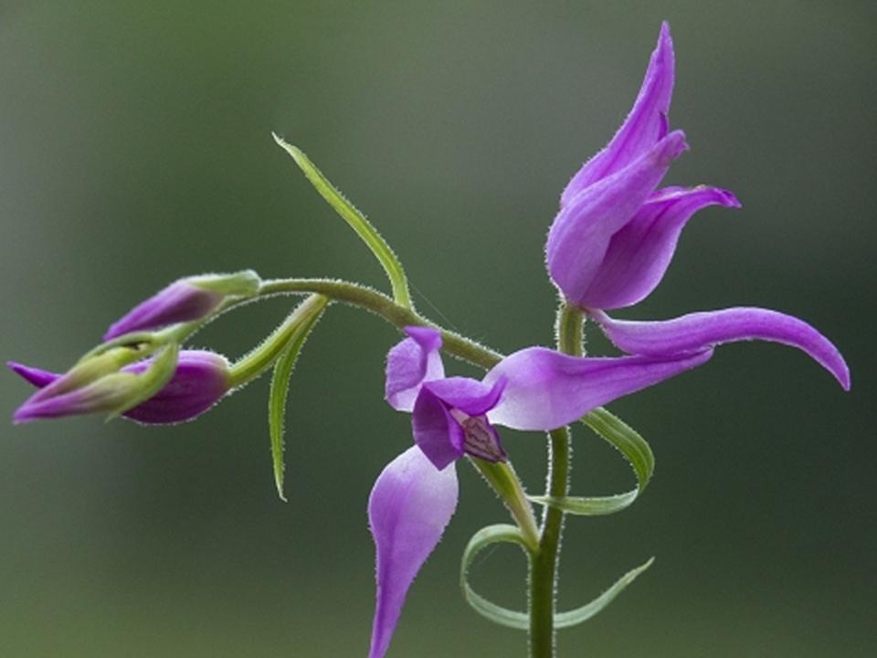 johann-madl-orchidee