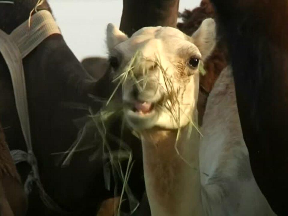 Opfer der Diplomatie: Katars Kamele dürfen heim
