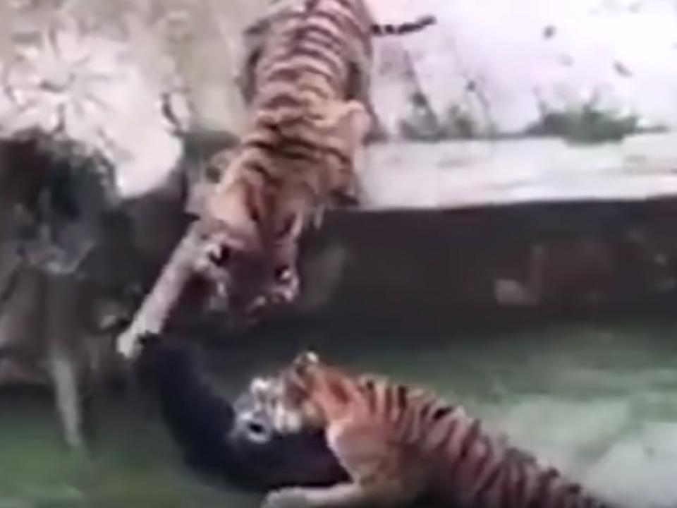 Lebender Esel an Tiger verfüttert