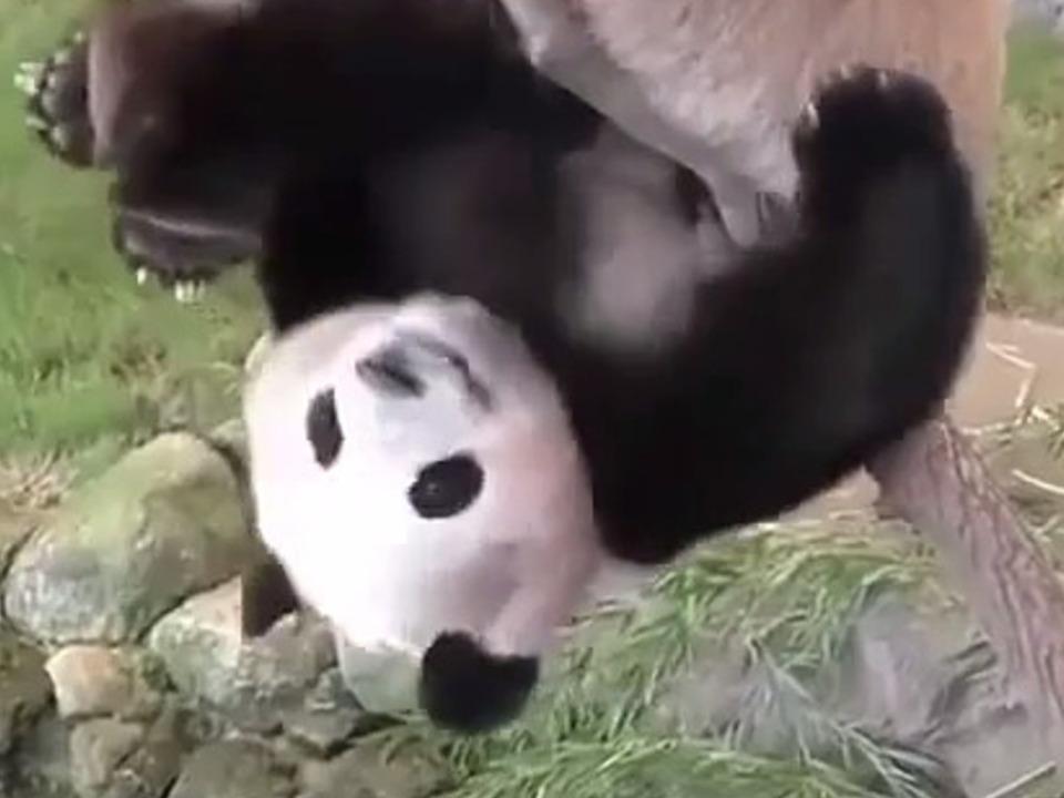 ungeschickter panda