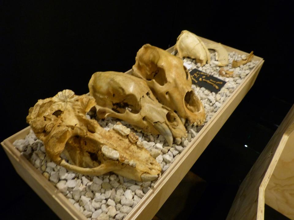 Bärenschädel_museum_ladin
